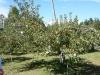 りんごの木(まだ袋かかっています)