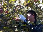 りんご収穫中