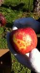 覚王山リンゴ