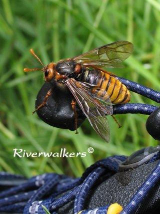 インチキスズメバチ