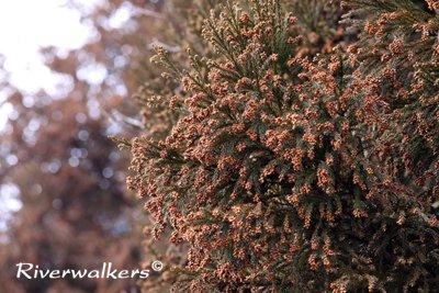 杉雄花のカタマリ