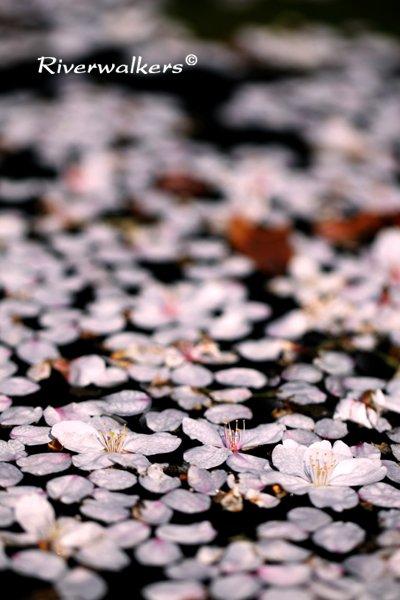 桜の花びら散るたびに…