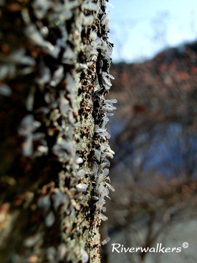 ケヤキの幹につくアブラムシ