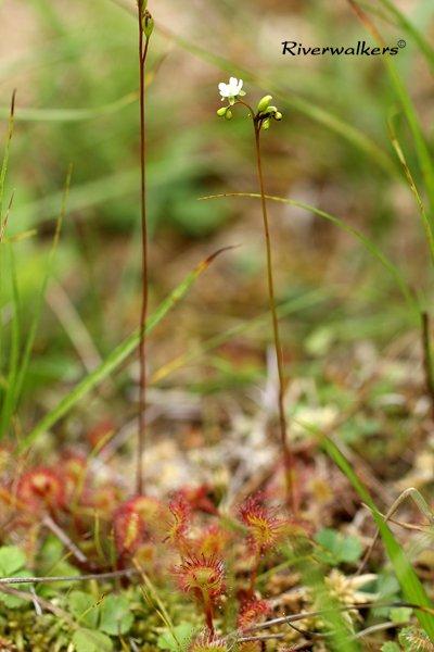 モウセンゴケの花