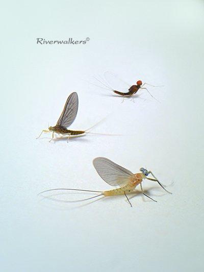 Autumn Mayflies