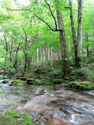 ブナ林の渓