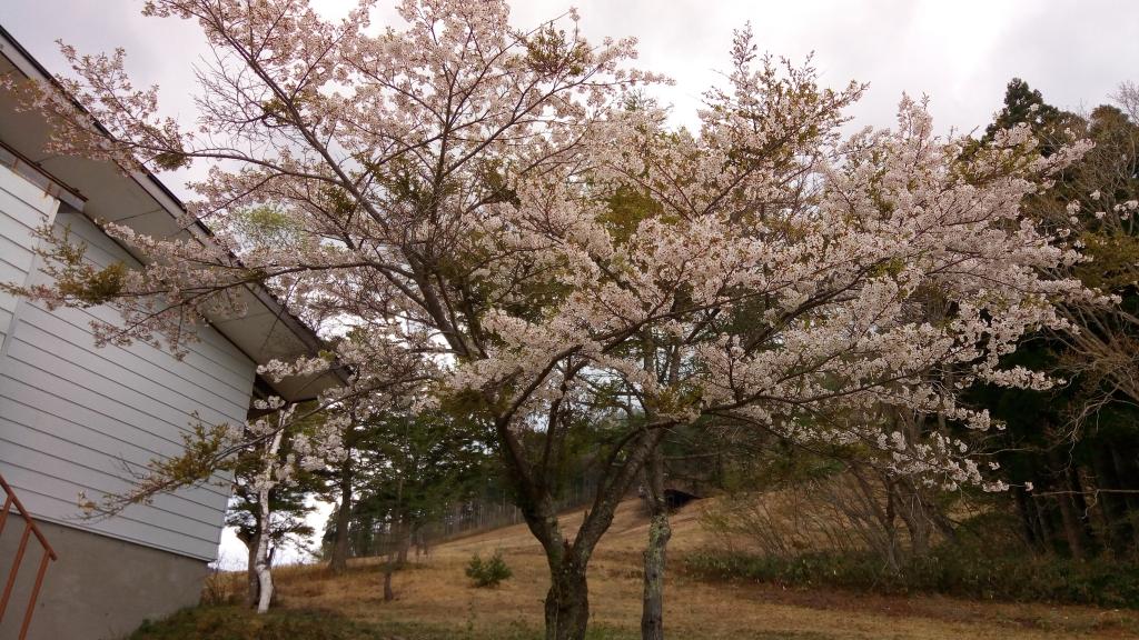 桜満開、ちょっと葉桜