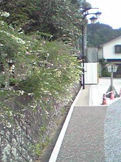 三松関沿いの石垣から顔を出す萩