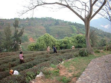 福建省、安渓の茶農家です。