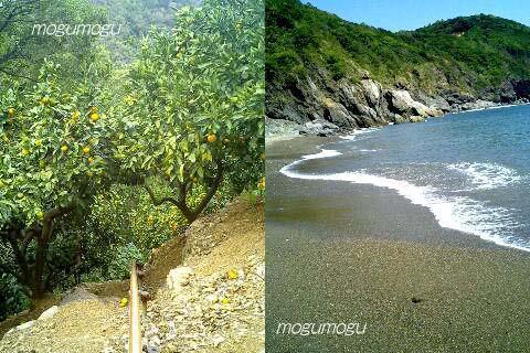 蜜柑の木と密柑山の近くの浜