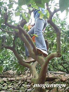 蜜柑採り1