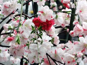 枝垂れ桃3