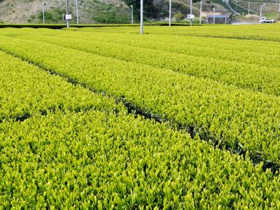 2014茶畑A