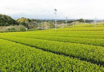 2014茶畑C
