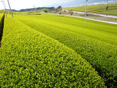茶畑1.JPG