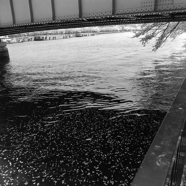 大川のさくら