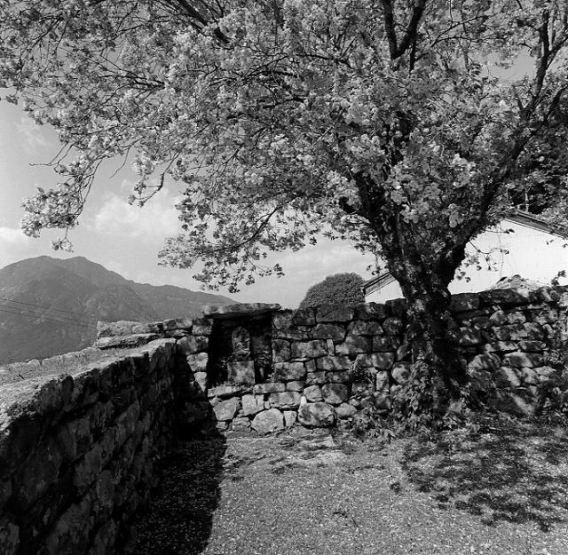 丸山千枚田の桜