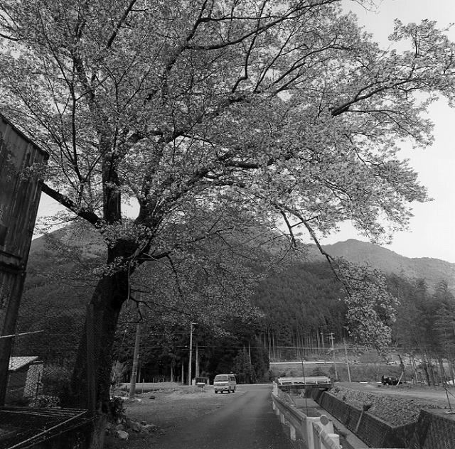大又川沿いの桜