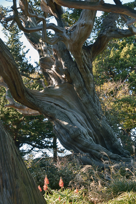 ビャクシンの森