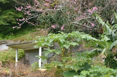 沖縄のカンヒサクラ