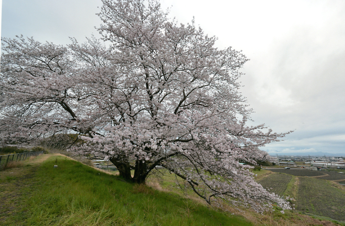 天理の一本桜
