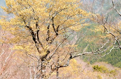 護摩壇山のブナ