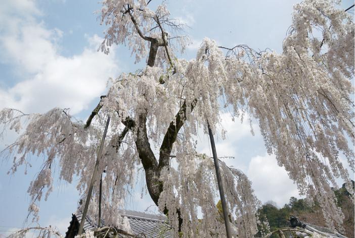 大野寺の桜