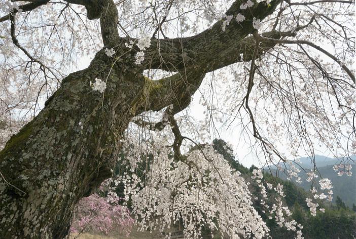 悟真寺の桜