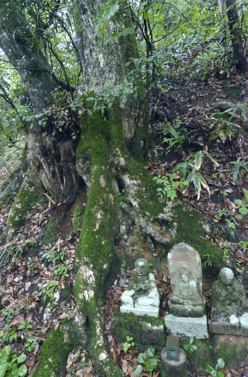 縁城寺のシイノキ