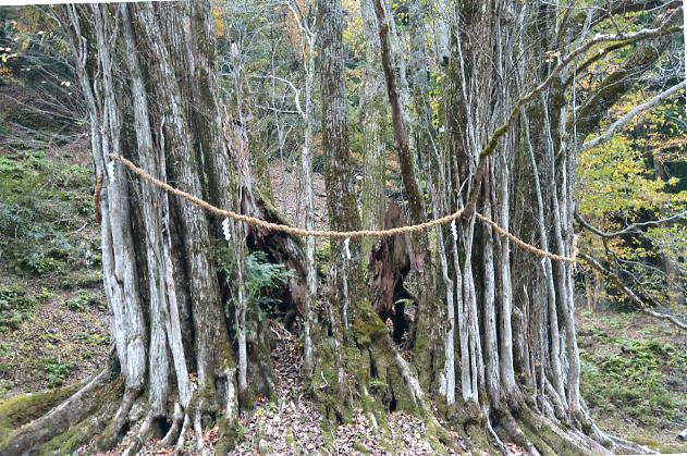 糸井の大カツラ