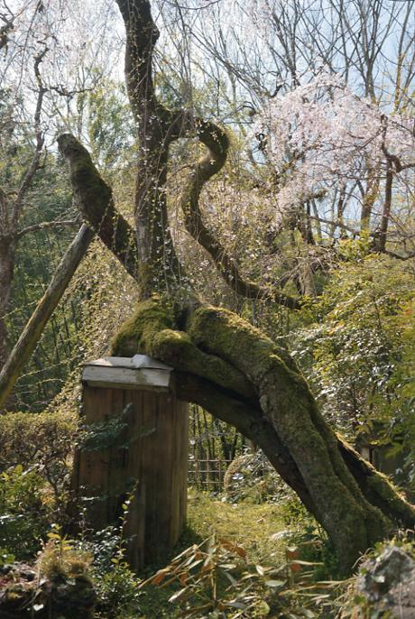 南河内の桜