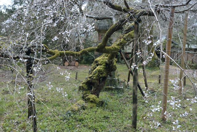 高貴寺の桜