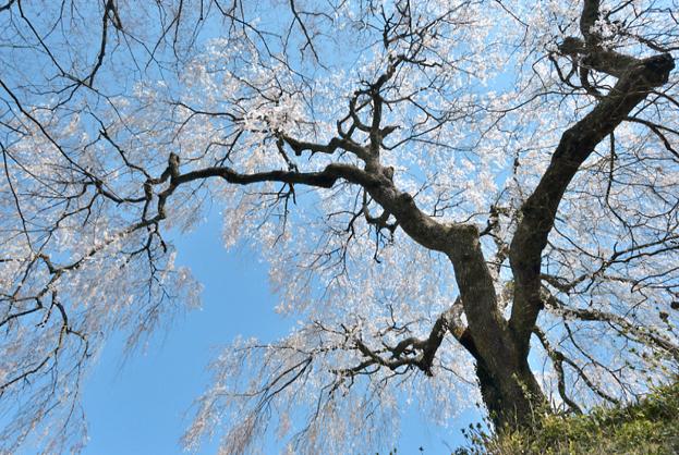 山添村の桜