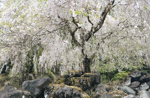 上桂川沿いの桜