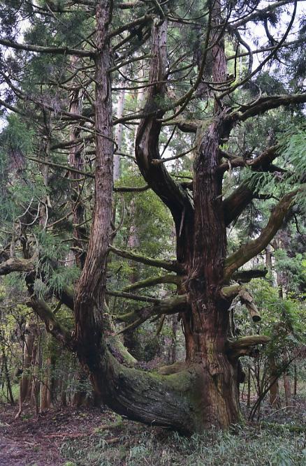 上古賀の裏杉
