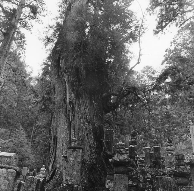 高野山の杉