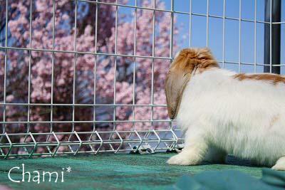 ちゃみと桜