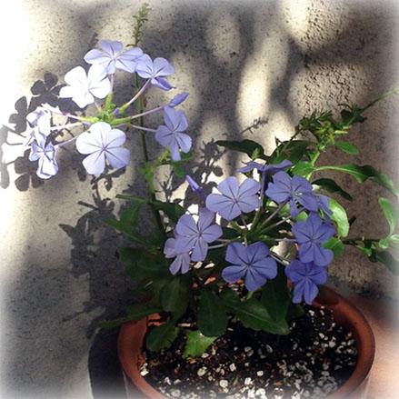 植物 ルリマツリ 瑠璃茉莉