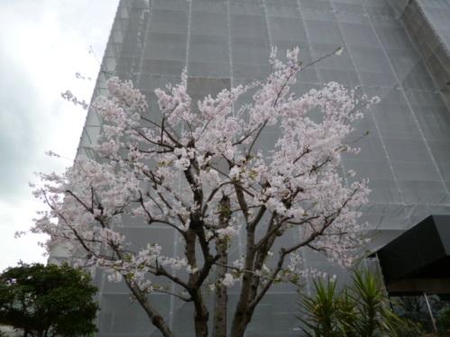 桜 (2).JPG