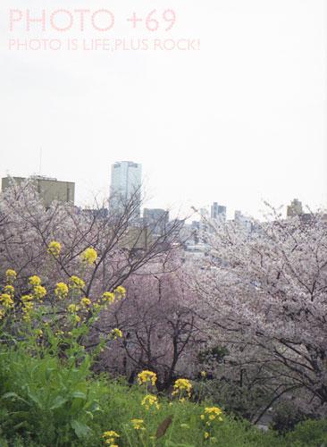 菜の花越しの恋桜