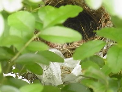 野鳥観察 卵がうまれた?日