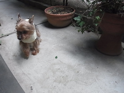 ベルクリ クレープ 3ply 小型犬用 手編みのセーター