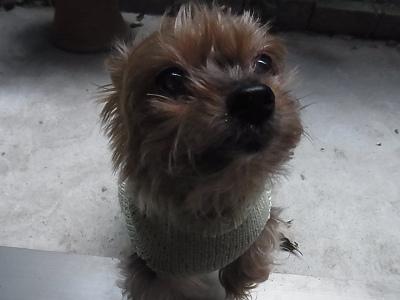 ベルクリ クレープ 小型犬 手編みセーター