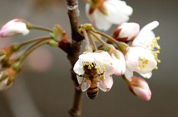 さくらんぼの花とハチ