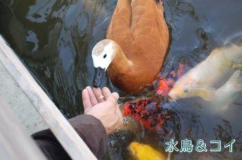 水鳥 コイ