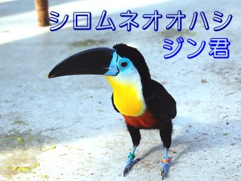 シロムネオオハシ