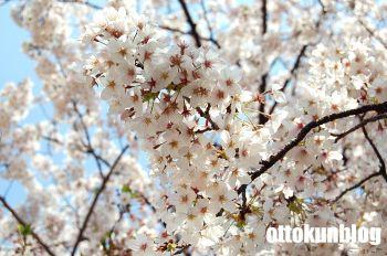 090406_sakura