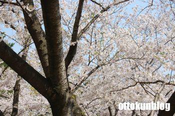 090406_sakura1