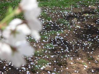 桜の花と散った花びら
