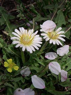 白い花の上に散った桜のはなびら